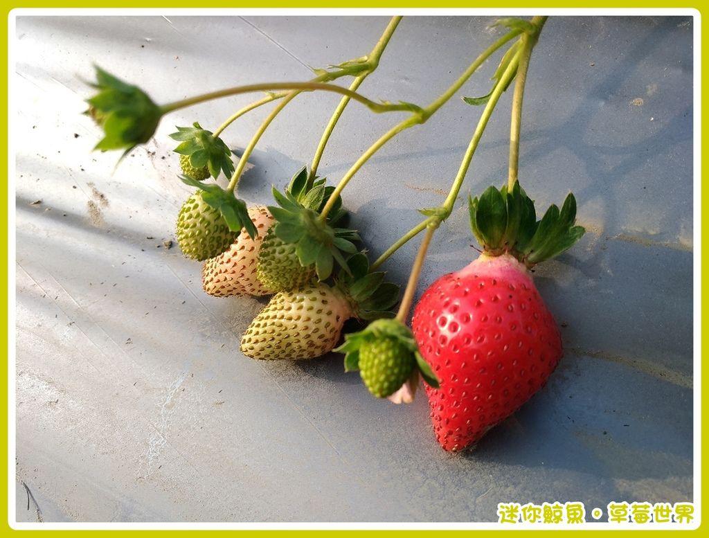 草莓17.jpg