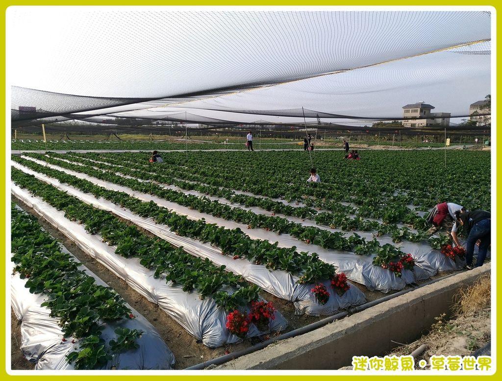 草莓24.jpg