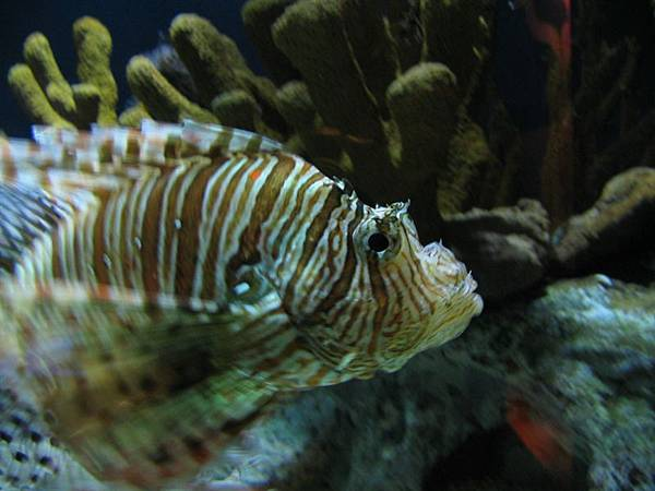 day2 (45)獅子魚