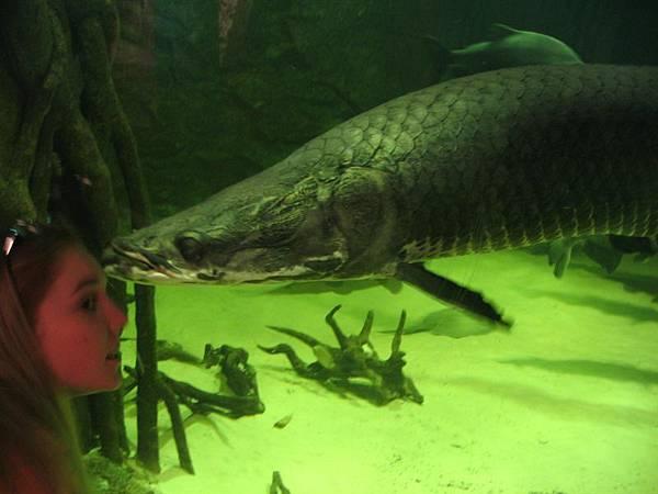 day2 (47)據說是世界上最大的淡水魚