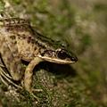 斯文豪氏赤蛙