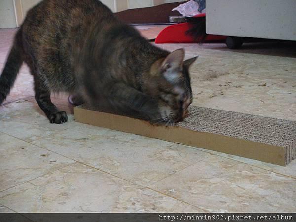 ˙應該是沾到貓抓屋底部殘留的貓草,看起來很嗨的狂舔˙