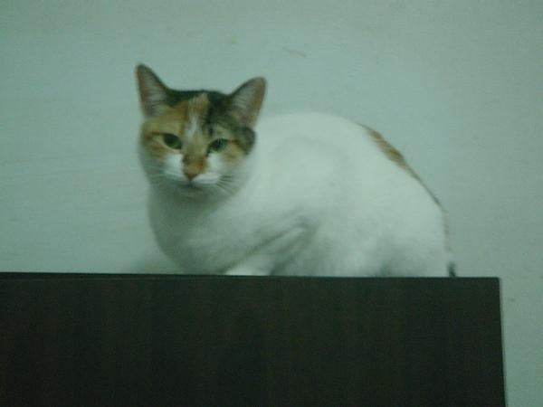 ˙蛋黃酥就這樣默默窩在櫃子上看我在下面團團轉的拍貓˙