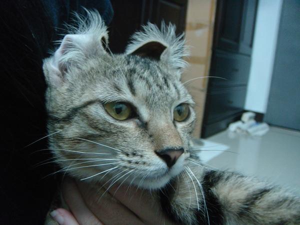 ˙其實我是捲耳貓˙