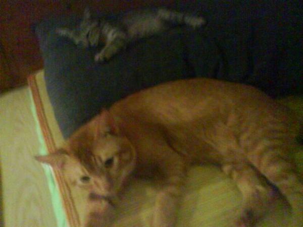 ˙爸爸室友的橘子貓,是尖頭的室友˙