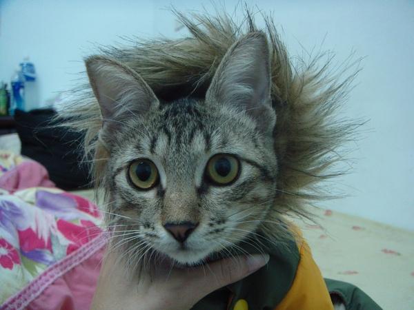 ˙傳說…拔到糯米的鬃毛就會…變成糯米的貓奴˙