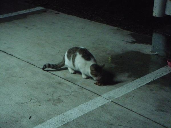 ˙牛奶糖是等咪寶跟拳霸吃飽之後才被兩貓帶過來的˙