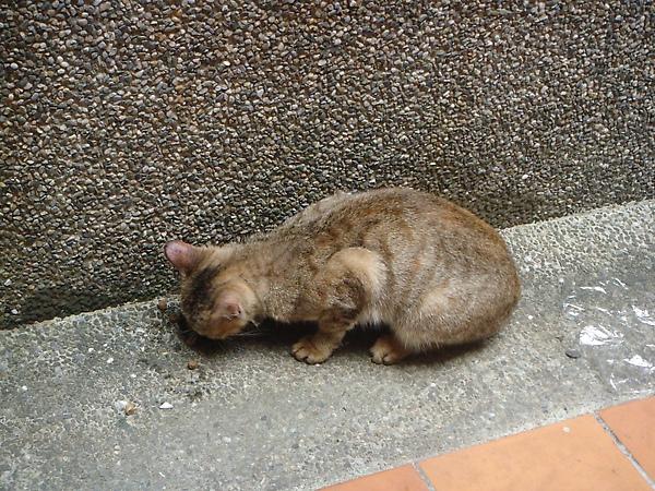 ˙今天在教學遇到的瘦小虎斑貓˙