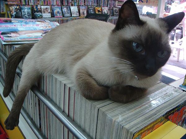 ˙租書店店貓,有很漂亮的藍眼睛˙