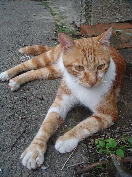 ˙他是鄉下地區的住戶養在外面的家貓˙