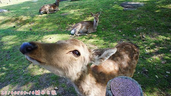 D2。奈良小鹿