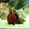 巴掌大的寄居蟹