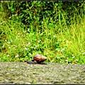 偶遇的大蝸牛
