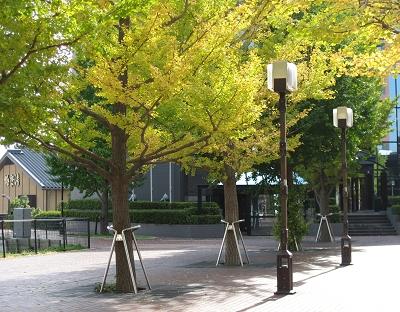 黃澄澄的什麼樹呀?