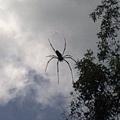 步道上方的大蜘蛛