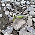 步道上發現的蚱蜢