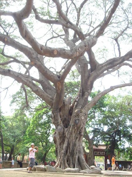 孔廟外廣場大樹
