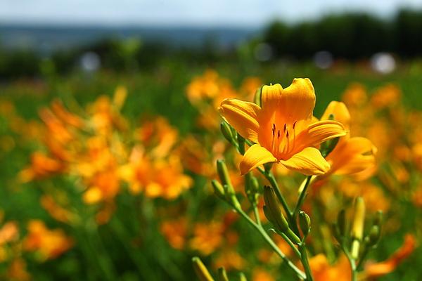 金針花園.jpg