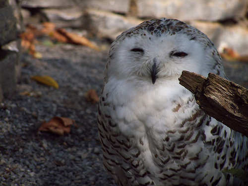 雪地貓頭鷹笑得很可愛3.jpg