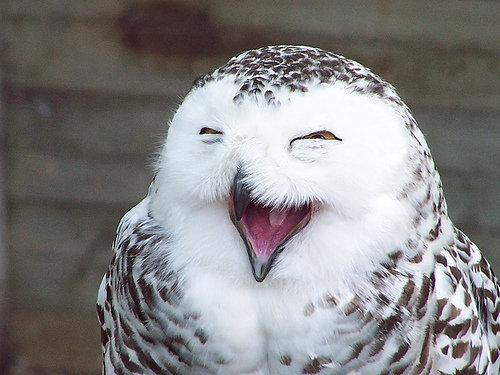 雪地貓頭鷹笑得很可愛2.jpg