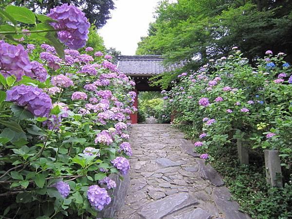 圖片來源:http://www.kota-kanko.jp/event/ajisai.htm