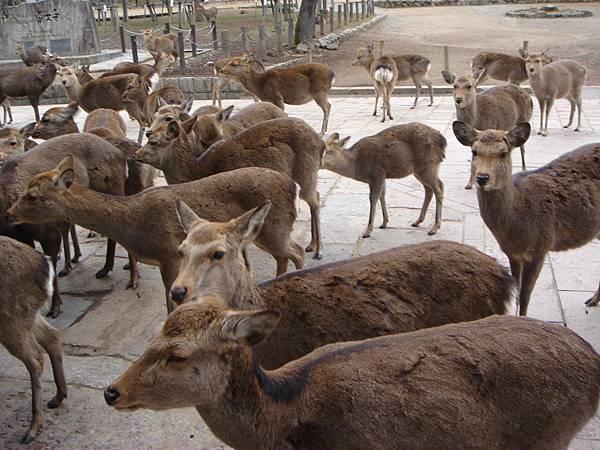 超可怕的東大寺鹿