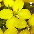 20120117 走訪田間-油菜花田 (5).jpg