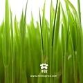 20120303 春耕田間紀錄 3 (13)