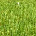 20120521 雨天裡的米故事