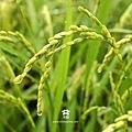 20120522 嬌滴滴米