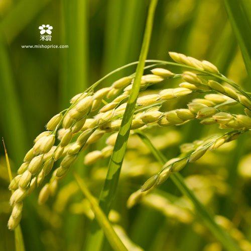 20120531 又見穗花 (9)