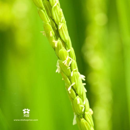 20120531 又見穗花 (2)