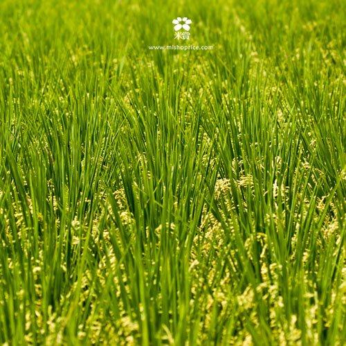 20120531 又見穗花 (7)