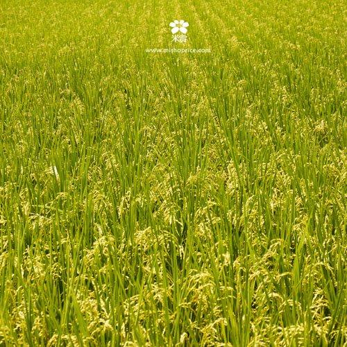 20120531 又見穗花 (12)