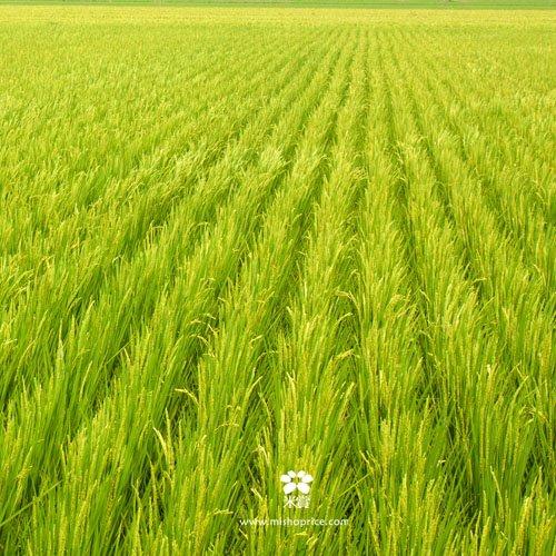 20120612 龍貓車經過稻田 (3)