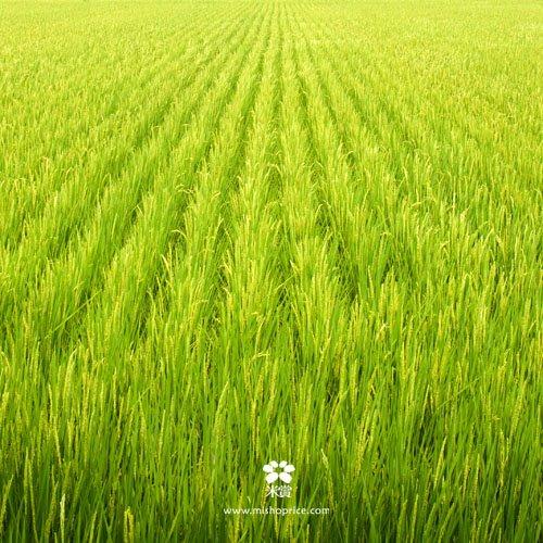 20120612 龍貓車經過稻田 (4)