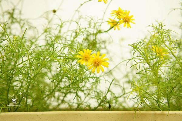 20121128 小黃花開