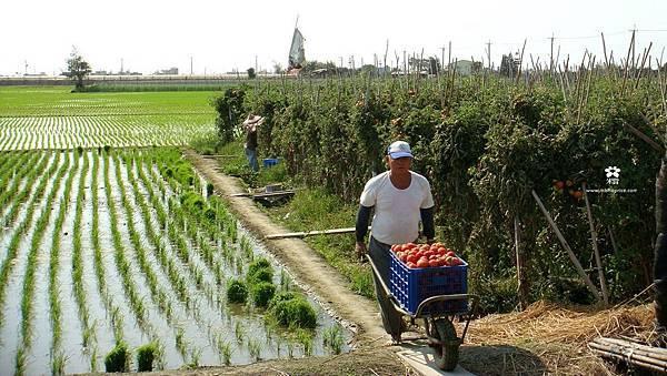 20130109 隱藏版-番茄採收