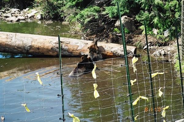 Gross Mountain: 熊出沒注意
