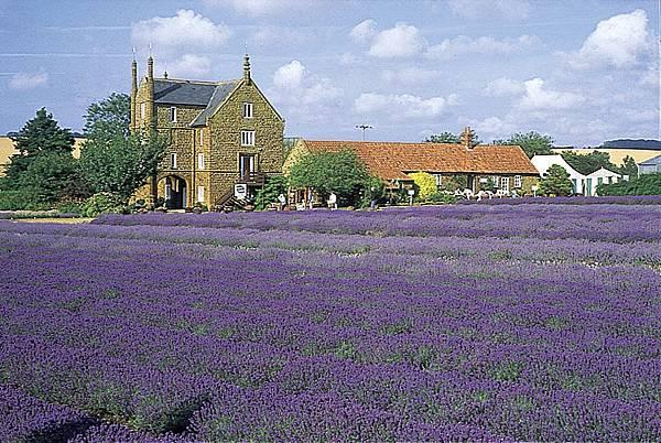 N Lavender 07.jpg