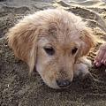 沙子裡長狗頭