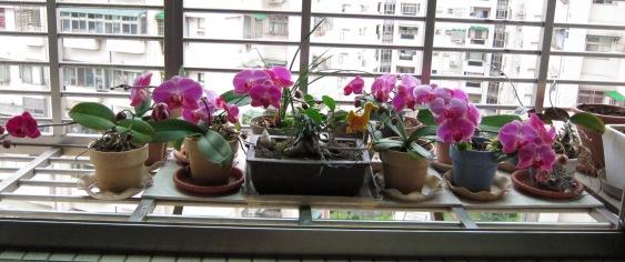 IMG_0244 到四月底才盛開的蘭花.JPG