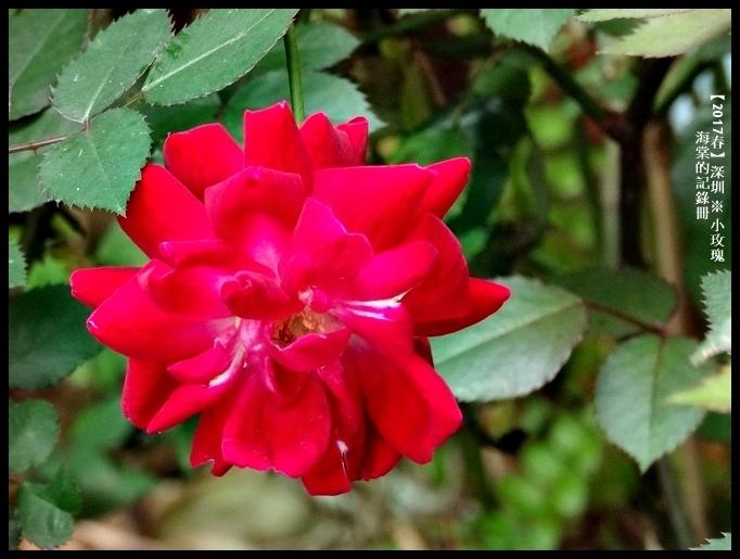 深圳小玫瑰