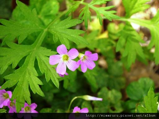 0414 某種菊
