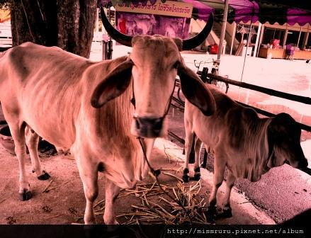 安帕瓦水上市場-5+1廟遊船-廟5-僧侶養的牛