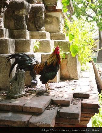 Ayutthaya-泰國雞