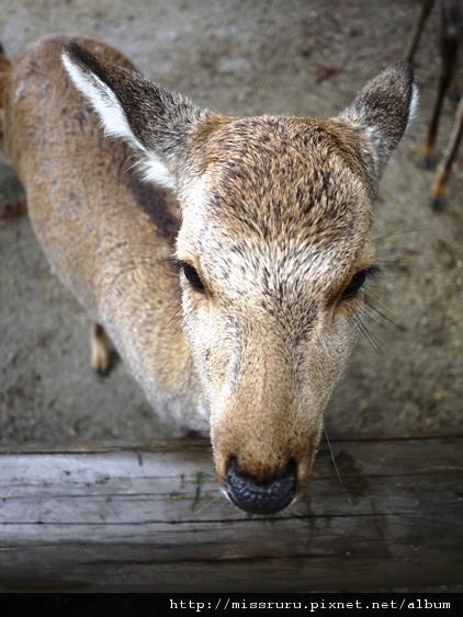 小鹿像在說-你有鹿餅嗎