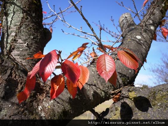 春天粉嫩的櫻花秋天則成了紅葉之