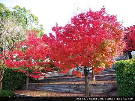 楓樹2.jpg