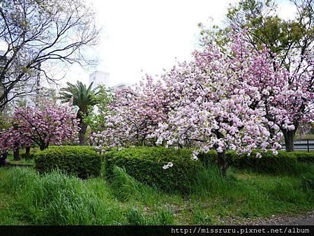公園裡的櫻花.JPG